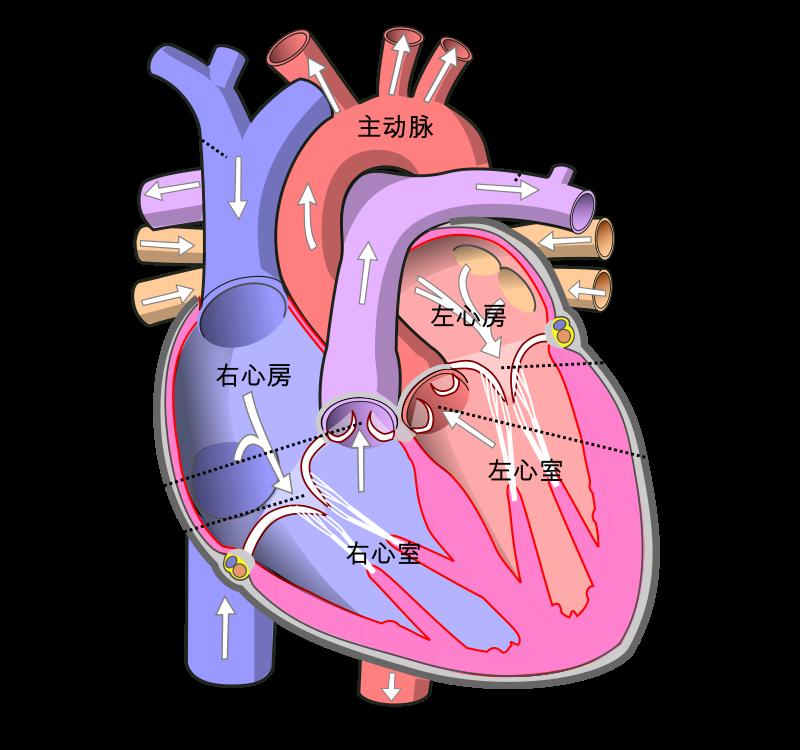 心瓣是心臟結構的其中一部分,像個活閥門,會隨着心臟的跳動而有節奏地開啟或關閉,確保血液只往單一的方血流動,不會倒流、逆流或滯留。